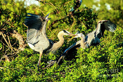 Photograph - Great Blue Herons Battle by Ben Graham