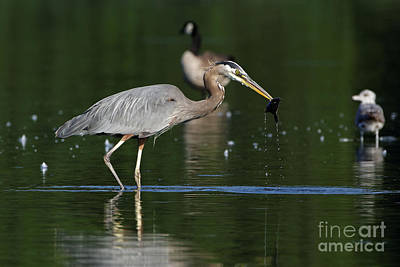 Photograph - Great Blue Herons Catch by Sue Harper