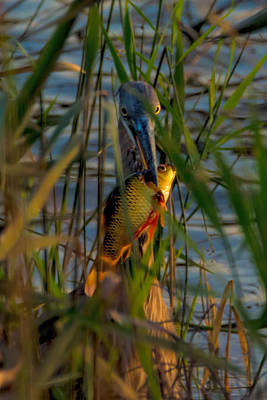 Photograph - Great Blue Heron's Friday Sundown Fish Feast by S Michael Basly - PhotoGraphics By S Michael