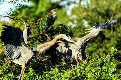 Photograph - Great Blue Herons In Battle by Ben Graham