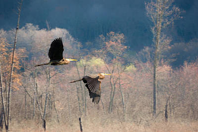 Heron Photograph - Great Blue Herons In Flight by Bill Wakeley