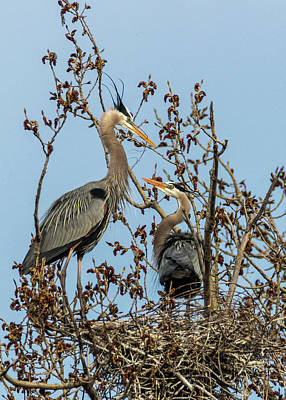 Photograph - Great Blue Herons - Nest Building by Patti Deters