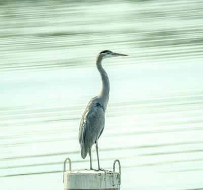 Photograph - Great Blue Herron Standing On Post by Douglas Barnett
