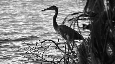 Photograph - Great Blue In Black And White by Carol Bradley