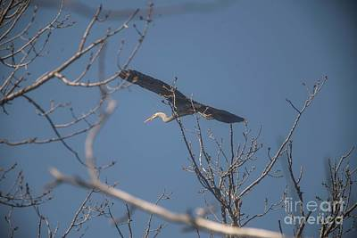 Art Print featuring the photograph Great Blue In Flight by David Bearden