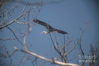 Photograph - Great Blue In Flight by David Bearden