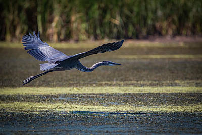 Photograph - Great Blue In Flight by Ray Congrove