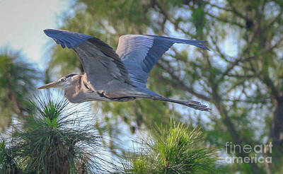 Photograph - Great Blue In Flight by Tom Claud