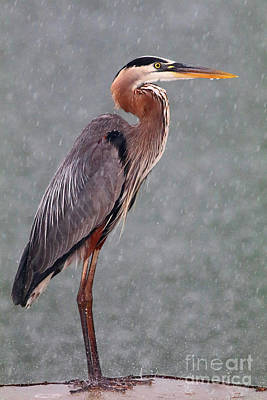 Photograph - Great Blue In The Rain by Debbie Parker