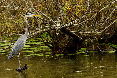 Photograph - Great Blue by Jamie Pattison
