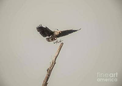 Photograph - Great Blue Landing by David Bearden