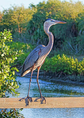 Photograph - Great Blue Heron On A Fence by HH Photography of Florida