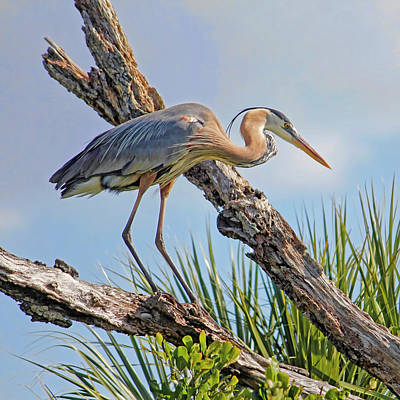 Photograph - Great Blue On A Winters Day by HH Photography of Florida