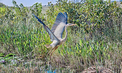 Photograph - Great Blue On The Fly by Judy Kay