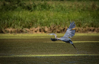 Photograph - Great Blue Over Marsh by Ray Congrove
