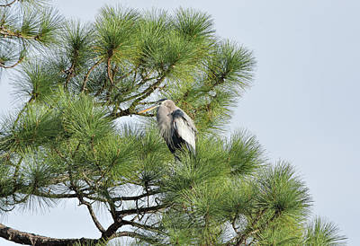 Photograph - Great Blue Perched In Pine by William Tasker