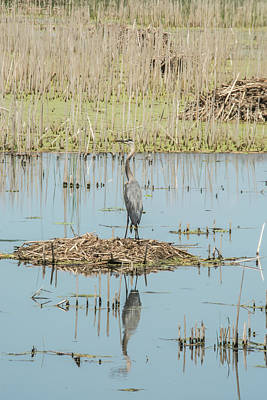 Photograph - Great Blue Reflecting by Pamela Williams