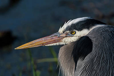 Photograph - Great Blue by Robert Potts