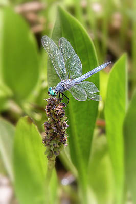Photograph - Great Blue Skimmer, No. 1 by Belinda Greb