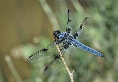 Photograph - Great Blue Skimmer  by Rick Mosher