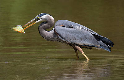 Photograph - Great Blue Spear by Art Cole