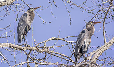 Photograph - Great Blue Times Two by Loree Johnson