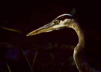 Photograph - Great Blue Up Close by Robert Potts