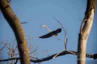 Art Print featuring the photograph Great Blues Nesting by David Bearden