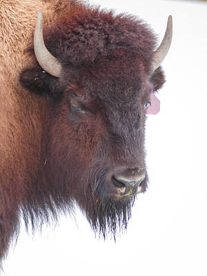 Photograph - Great Buffalo by Sean Allen