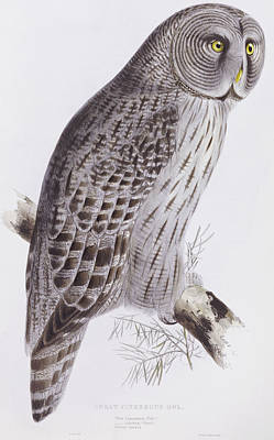 Owl Drawing - Great Cinereous Owl by John Gould