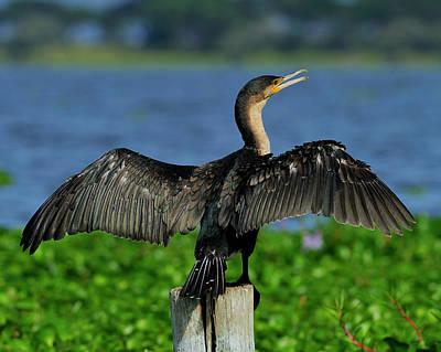 Photograph - Great Cormorant  by Tony Beck