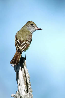 Photograph - Great Crested Flycatcher I by Dawn Currie