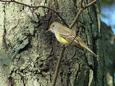 Wall Art - Photograph - Great-crested Flycatcher by Robert Papps