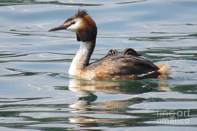 Photograph - Great Crested Grebe by Frank Townsley