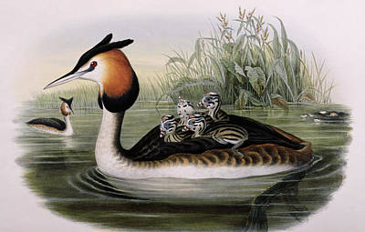 Great Crested Grebe  Art Print by John Gould
