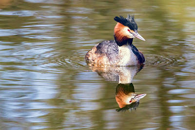 Photograph - Great Crested Grebe by Nadia Sanowar