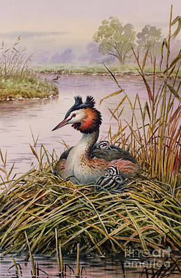 Waterfowl Painting - Great Crested Grebes by Carl Donner