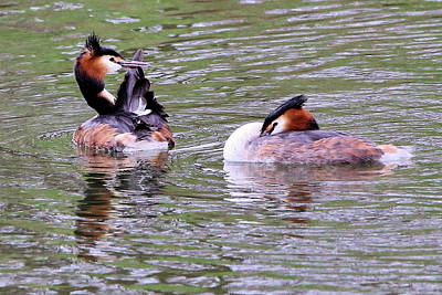 Photograph - Great Crested Grebes by David Bradley