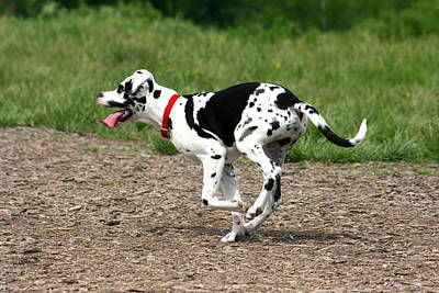 Photograph - Great Dane Harlequin Puppy by David Dunham