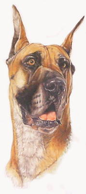 Mixed Media - Great Dane Portrait by Barbara Keith