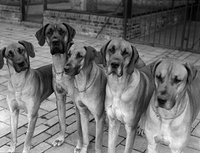 Great Dane Photograph - Great Danes by Fox Photos