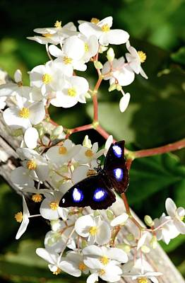 Photograph - Great Eggfly Butterfly by Richard Bryce and Family