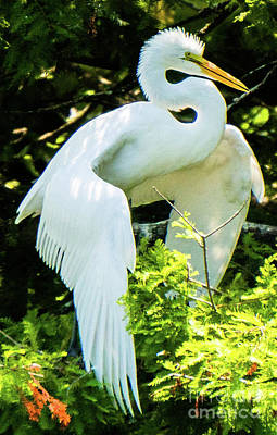 Great Egret Stretching Art Print