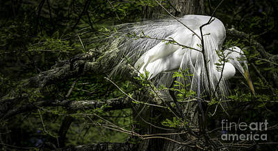 Photograph - Great Egret #2 by David Smith