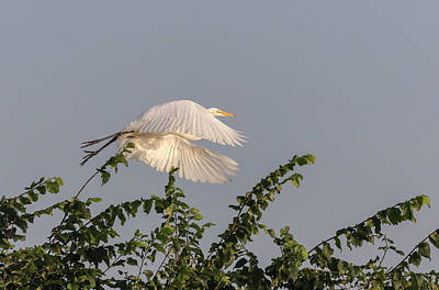 Photograph - Great Egret 2017-6 by Thomas Young