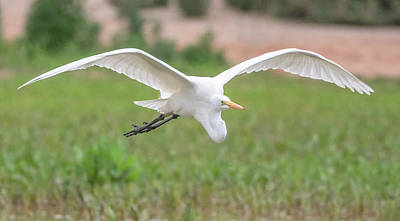 Photograph - Great Egret 2038-020617-2cr by Tam Ryan