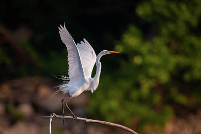 Photograph - Great Egret 3172 by Jeff Phillippi