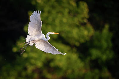 Photograph - Great Egret 3175 by Jeff Phillippi