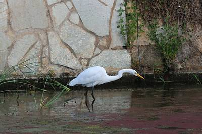 Photograph - Great Egret - 4  by Christy Pooschke