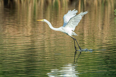 Photograph - Great Egret 4715-091017-1 by Tam Ryan